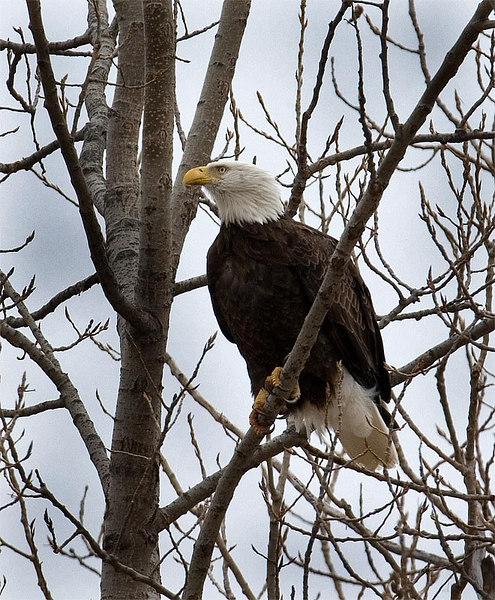 Bald eagle (Sequoyah NWR)