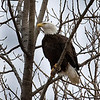 Bald eagle (Sequoyah NWR)