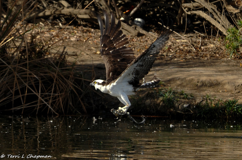 Osprey just coming out of the lake after catching a fish