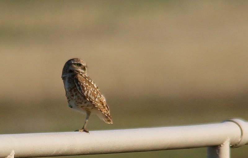 Burrowing Owl (5)