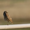 Burrowing Owl (5)