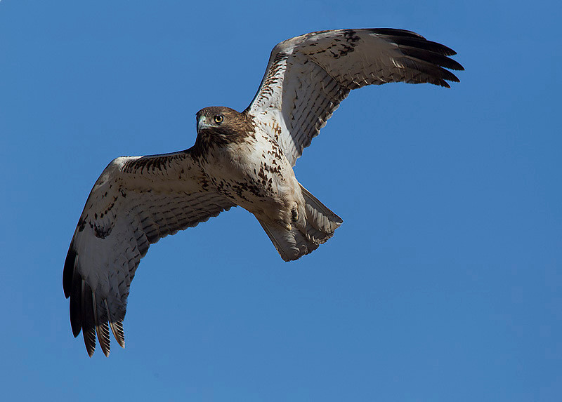 red-tailed-hawk37