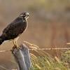 Swainson's Hawk (94)