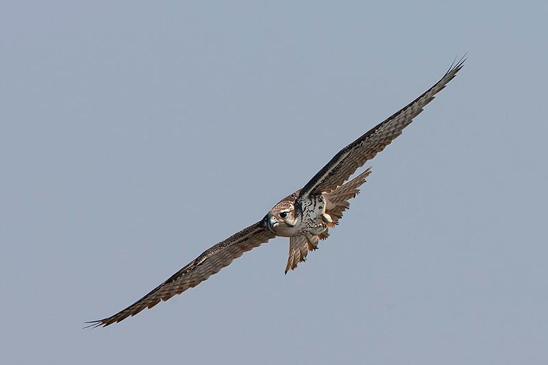 prarie-falcon1