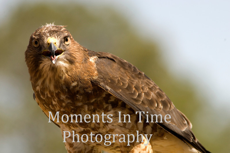 Hawk broad-winged,  (Buteo platypterus)