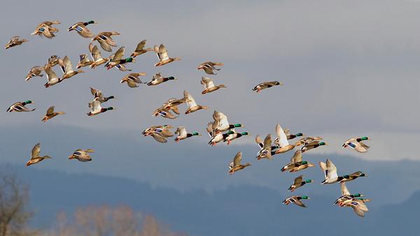 Mallard Flock take-off