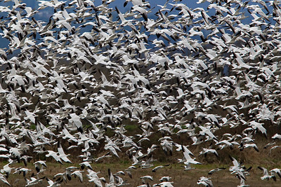 "Snow Geese ""Get Up""!"