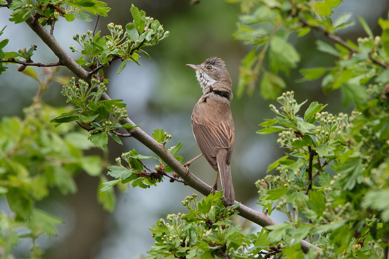 Common Whitethroat, Tornsanger