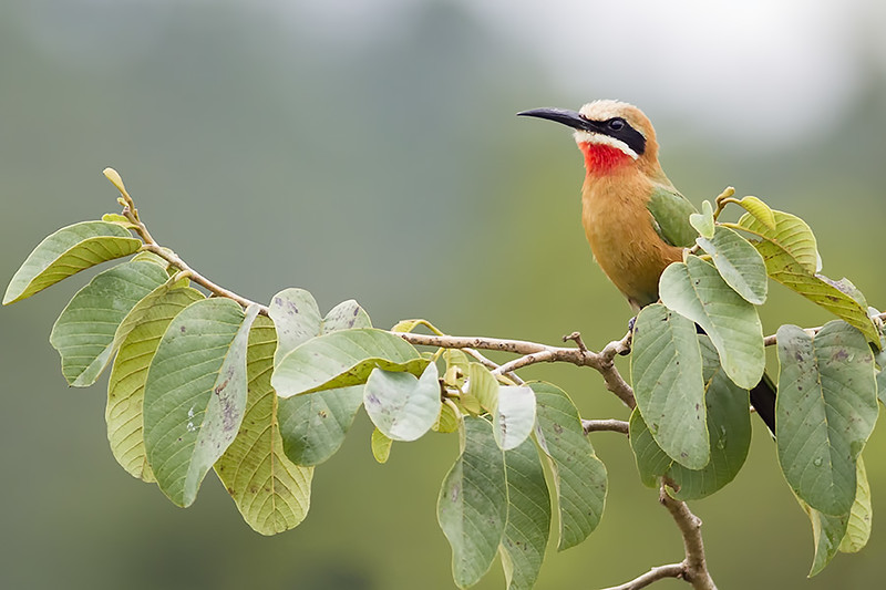 White-Fronted Bee-Eater (Merops bullocoides)