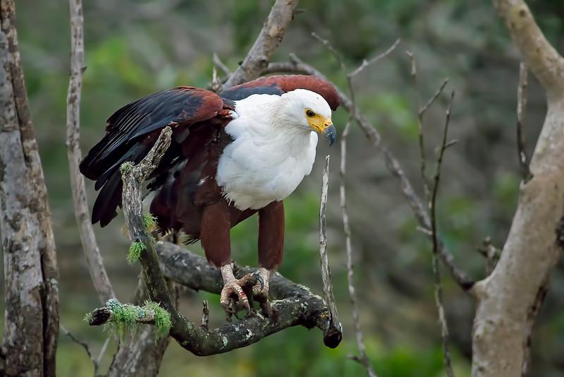 Fish Eagle (Haliaeetus vocifer )