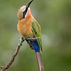 White-Fronted Bee-Eater (Merops bullockoides)