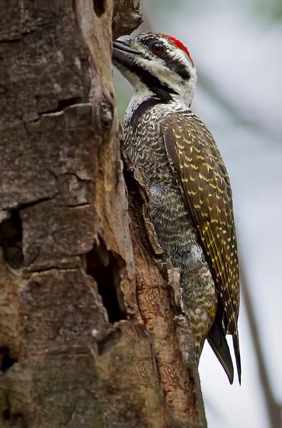 Bearded Woodpecker (Dendropicos mamaquus)
