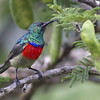 Greater Double-collared Sunbird (Cinnyris afer)