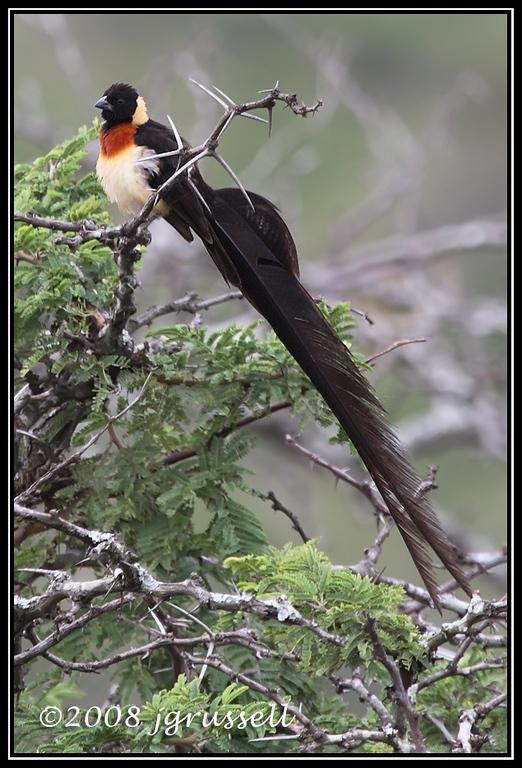 Paradise whydah