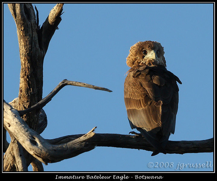Bateleur eagle - immature