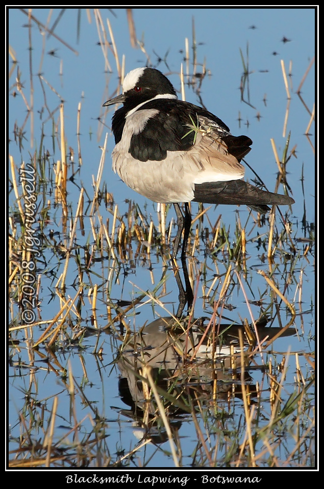 Blacksmith lapwing