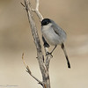A Black-tailed Gnatcatcher (male) photographed in Palm Desert, CA