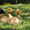 Goslings resting in the lawn with daddy pictured in the background