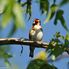 A European Goldfinch in my backyard Pistachio Tree