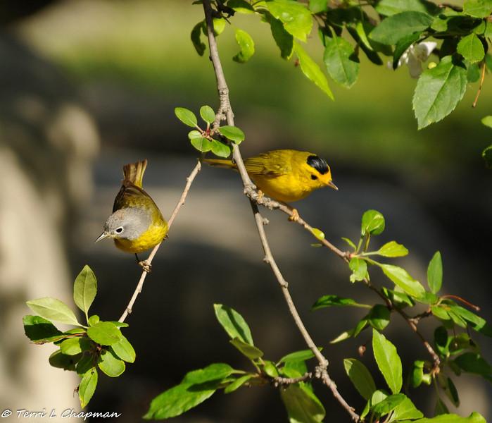 A Nashville Warbler (left) and a Wilson's Warbler
