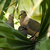 Mourning Dove parents with their offspring in a palm frond nest