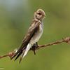 Bank Swallow (juvenile)