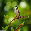 Red-whiskered Bulbul with a crane fly snack