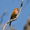 Summer Tanager  (juvenile male)