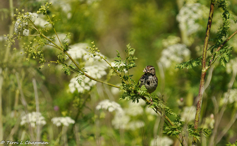 Song Sparrow with a grasshopper in its beak