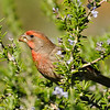 House Finch eating rosemary
