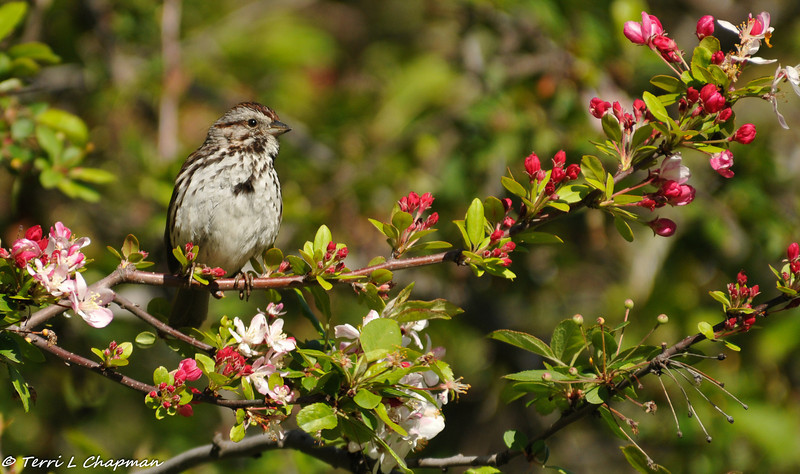 Song Sparrow perched in a Flowering Crabapple tree