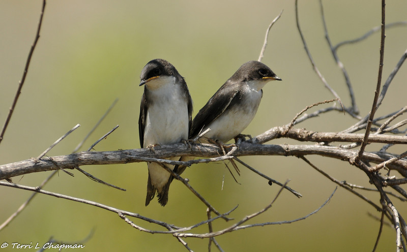 Tree Swallow fledglings waiting for their parents to feed them.