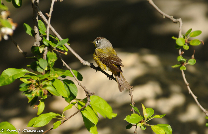 A wet Nashville Warbler after taking a bath