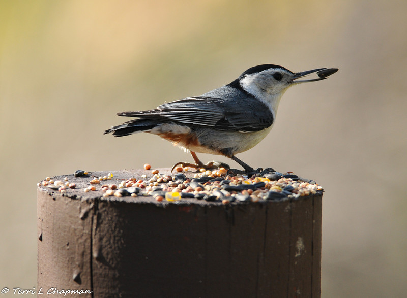 A White-breasted Nuthatch photographed in the Angeles National Forest. A woman apparently comes by the ranger station each morning and leaves seed for the birds on the posts in the parking area!