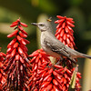 Northern Mockingbird in Aloe excelsa from Zimbabwe (with bee flying by!)