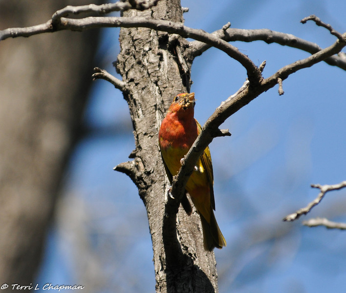 Summer Tanager eating a bee