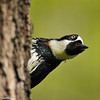 Acorn Woodpecker peeking around the tree trunk