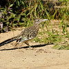 A Greater Roadrunner photographed in Palm Desert