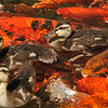 Ducklings swimming in a Koi pond. This photograph was taken in the serenity garden of a local hospital and the mother Mallard apparently comes back each year to this garden to raise her offspring. I was a visitor to the hospital and I watched several hospital patients come to the garden to enjoy the ducklings and they said it took their mind off the reason they were hospitalized. The power of nature!