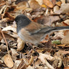 Dark-eyed Junco gathering rabbit hair for it's nest