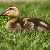 Duckling resting in the grass
