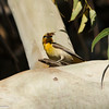 Bullock's Oriole (female) with a grasshopper, which she is getting ready to feed to her babies