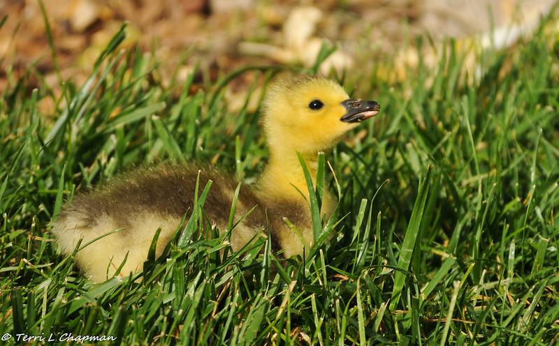 A Gosling (Canada Goose baby)