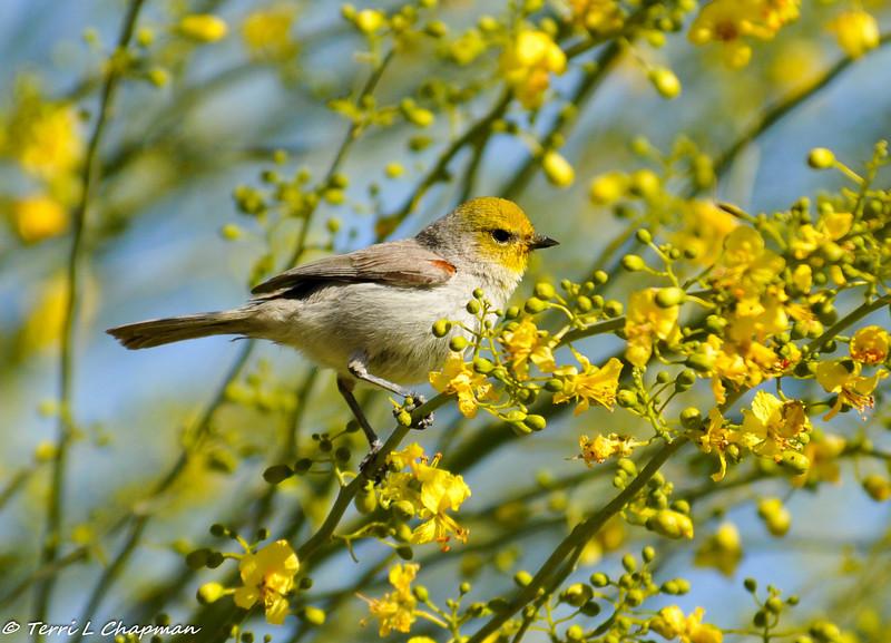 A Verdin Songbird