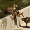 Ducklings exiting a koi pond. This photograph was taken in the serenity garden of a local hospital and the mother Mallard apparently comes back each year to this garden to raise her offspring. I was a visitor to the hospital and I watched several hospital patients come to the garden to enjoy the ducklings and they said it took their mind off the reason they were hospitalized. The power of nature!