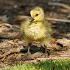 A Gosling (Canada Goose baby)