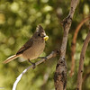 Oak Titmouse with a mouth full of worms for waiting babies