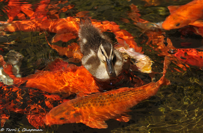 A Duckling swimming in a Koi pond. This photograph was taken in the serenity garden of a local hospital and the mother Mallard apparently comes back each year to this garden to raise her offspring. I was a visitor to the hospital and I watched several hospital patients come to the garden to enjoy the ducklings and they said it took their mind off the reason they were hospitalized. The power of nature!
