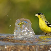 Lesser Goldfinch (male) enjoying a drink at a bubbling fountain