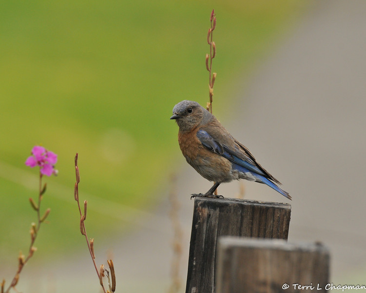 A female Western Bluebird perched on a fence post